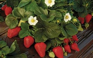 Как ухаживать за садовой клубникой