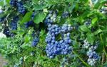 Кустарники для сада и огорода многолетники плодовые