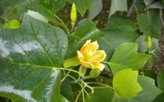 Как правильно посадить и как ухаживать за тюльпанным деревом