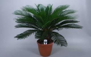 Уход за пальмой в домашних