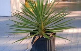 Как ухаживать за пальмой юкка в домашних условиях