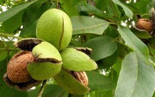 Уход за ореховым деревом