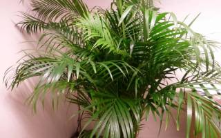 Цветы комнатные уход пальма