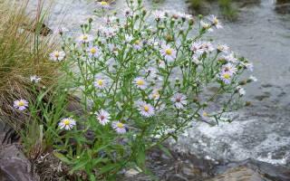 Цветы сентябринки уход осенью