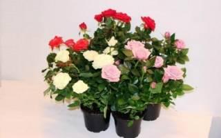 Как ухаживать в домашних условиях за розой кустовой