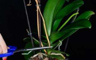 Отцвела орхидея что дальше с ней делать