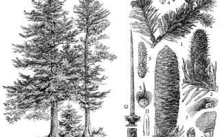 Пихта это хвойное или лиственное дерево