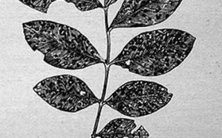 Растрескивание стеблей флоксов