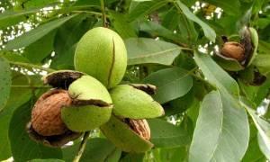 Как ухаживать за деревом грецкого ореха