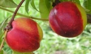 Персик как ухаживать осенью