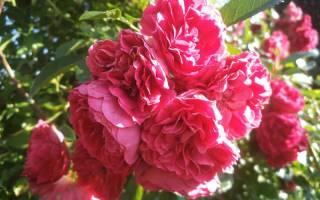 Роза плетистая эксцельза посадка и уход