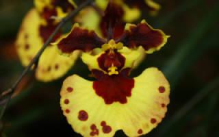 Толумнея орхидея уход в домашних