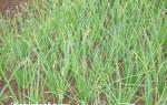 Как правильно ухаживать за луком в открытом грунте и полив
