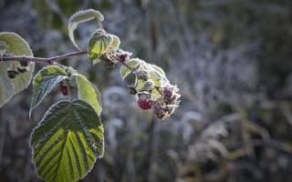 Уход за малиной осенью в беларуси