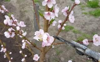 Как ухаживать за персиком правильно