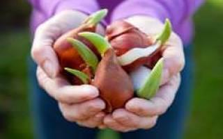 Хранение луковиц тюльпанов в ящиках