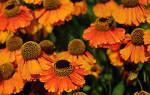 Как ухаживать за гелениумом осенью