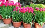 Когда лучше сажать тюльпаны весной или осенью