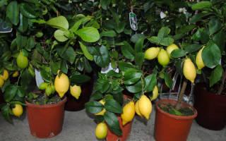 Комнатные деревья фруктовые деревья