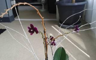 Орхидея фаленопсис уход в домашних условиях обрезка