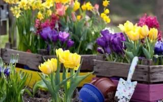 Когда высаживать тюльпаны в открытый грунт