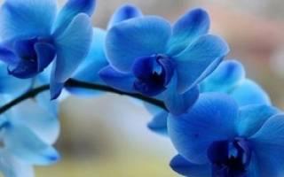 Как ухаживать за орхидеей синей