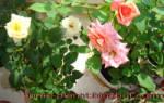 Уход за розой в горшке в домашних условиях осенью