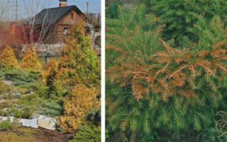 Защита хвойных растений от солнечных ожогов