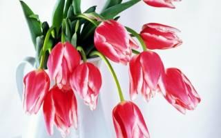 Могут ли подмерзать тюльпаны