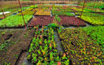 Саженцы сеянцы хвойных на доращивание