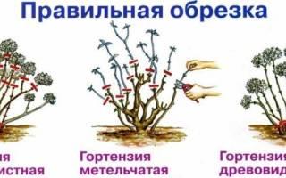 Схема обрезки куста гортензии весной