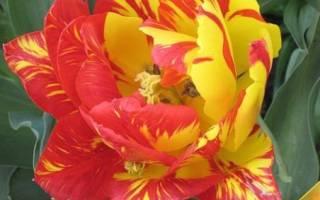 Что такое пестролепестковость тюльпанов