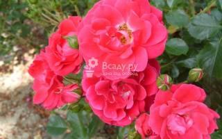 Почвопокровная поникающая роза fiona