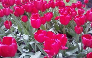 Солнечные хризантемы на праздник весны