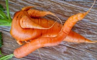 Почему у меня морковь вырастает многохвостой