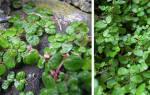Комнатные цветы теневыносливыесолейролия или хельксина