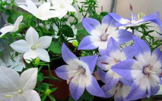 Как ухаживать за цветком жених и невеста
