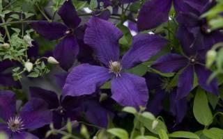 Многолетние растения примеры названия