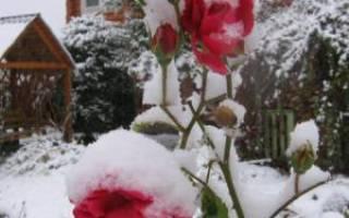 Розы уход осенью на урале
