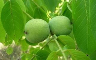Листья ореха как удобрение для огорода