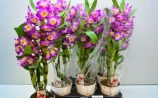 Как ухаживать в домашних условиях за орхидеей дендробиум