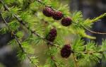 Лиственница это хвойное или лиственное дерево