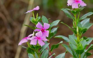 Цветок катарантус комнатный барвинок это разные растения