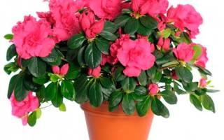 Как в домашних условиях ухаживать за цветком азалия