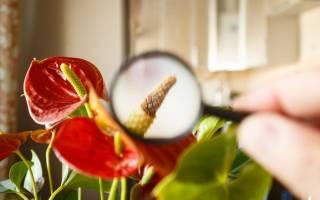 От чрезмерного полива комнатное растение может погибнуть из за