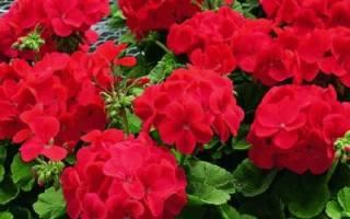Как ухаживать за цветком герань в домашних условиях
