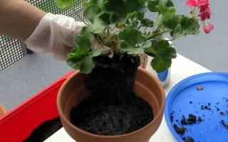 Удобрение для герани для обильного цветения