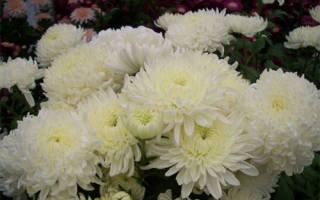 Хризантема крупноцветковая валентина терешкова