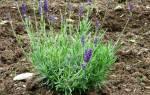 Выращивание французской лаванды в домашних условиях