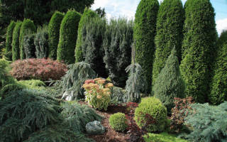 Живые изгороди из хвойных растений
